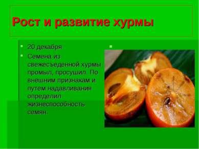Рост и развитие хурмы 20 декабря Семена из свежесъеденной хурмы промыл, просу...