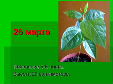 26 марта Появление 5-6 листа. Высота 20 сантиметров.