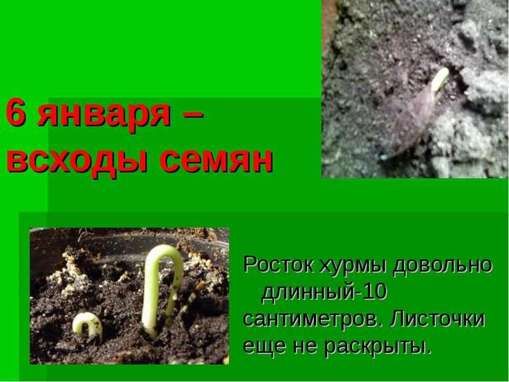 6 января – всходы семян Росток хурмы довольно длинный-10 сантиметров. Листочк...