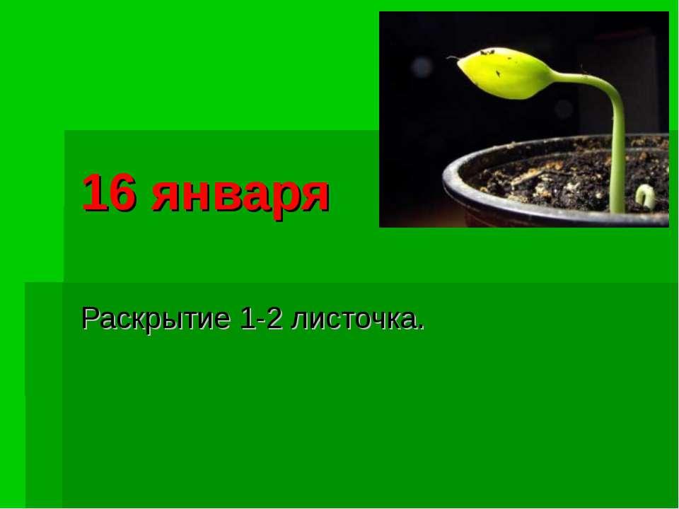 16 января Раскрытие 1-2 листочка.