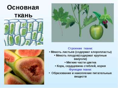 Основная ткань Строение ткани: Мякоть листьев (содержат хлоропласты) Мякоть п...