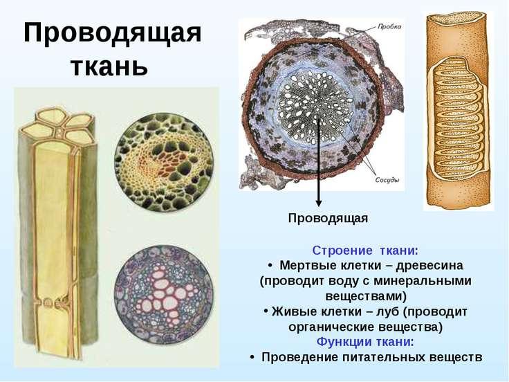 Проводящая ткань Проводящая Строение ткани: Мертвые клетки – древесина (прово...