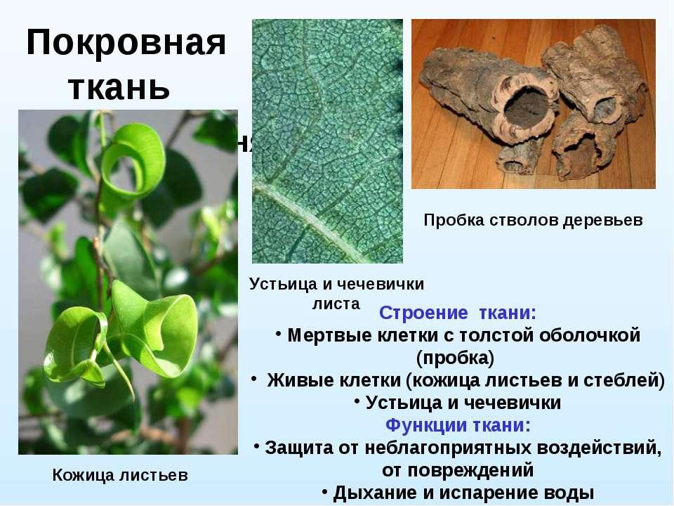 Покровная ткань Кончик корня Устьица и чечевички листа Пробка стволов деревье...