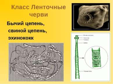 Класс Ленточные черви Бычий цепень, свиной цепень, эхинококк
