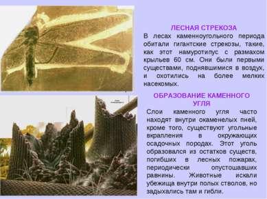 ЛЕСНАЯ СТРЕКОЗА В лесах каменноугольного периода обитали гигантские стрекозы,...
