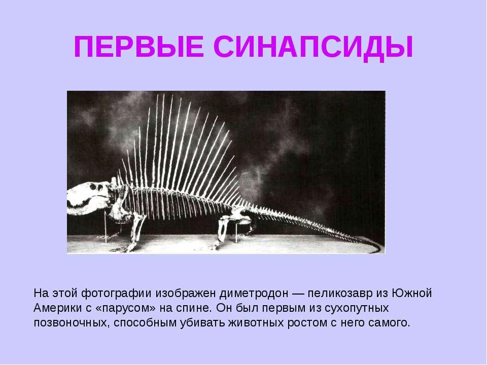 ПЕРВЫЕ СИНАПСИДЫ На этой фотографии изображен диметродон — пеликозавр из Южно...