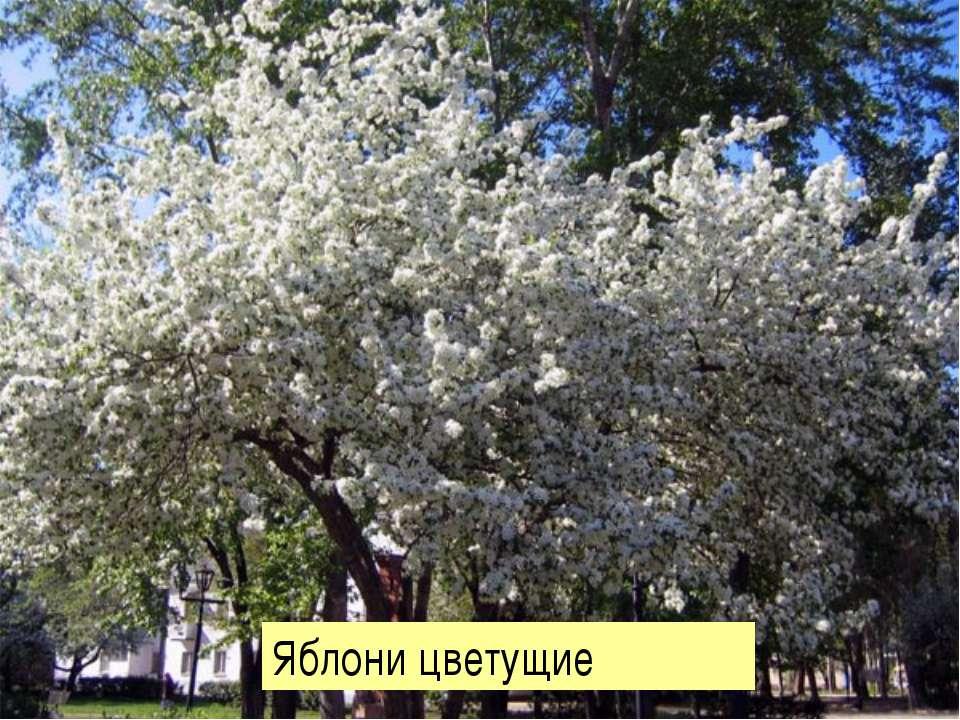 Яблони цветущие