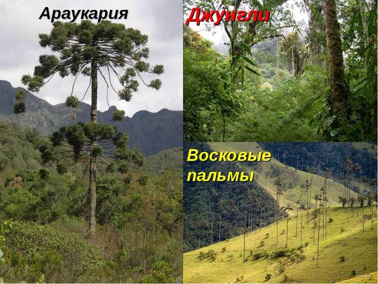 Восковые пальмы Джунгли Араукария