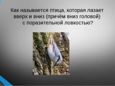 Как называется птица, которая лазает вверх и вниз (причём вниз головой) с пор...