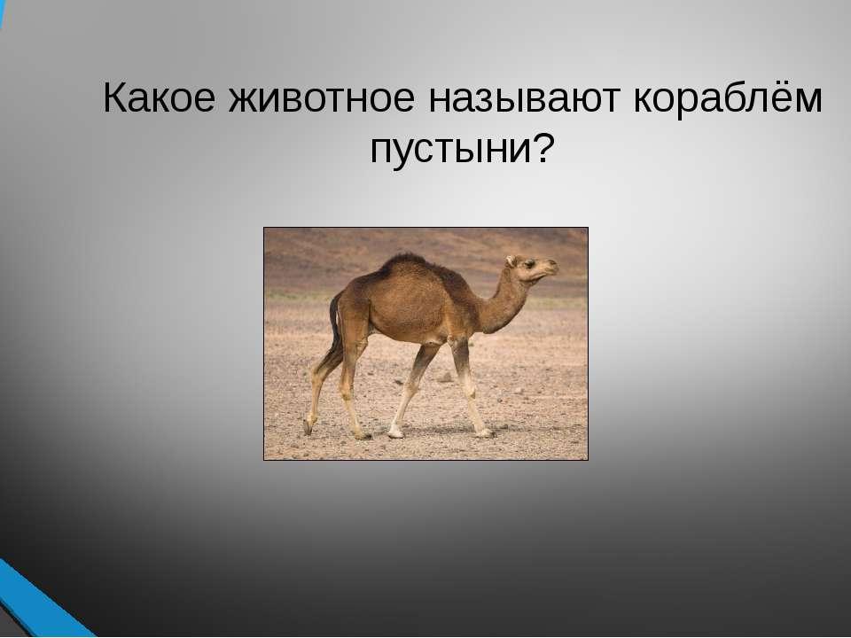 Какое животное называют кораблём пустыни?