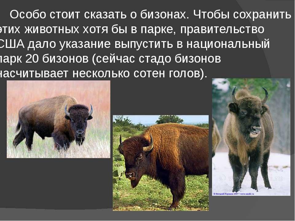 Особо стоит сказать о бизонах. Чтобы сохранить этих животных хотя бы в парке,...
