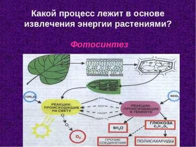Какой процесс лежит в основе извлечения энергии растениями? Фотосинтез