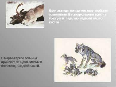 Волк активен ночью, питается любыми животными. В голодное время волк не брезг...