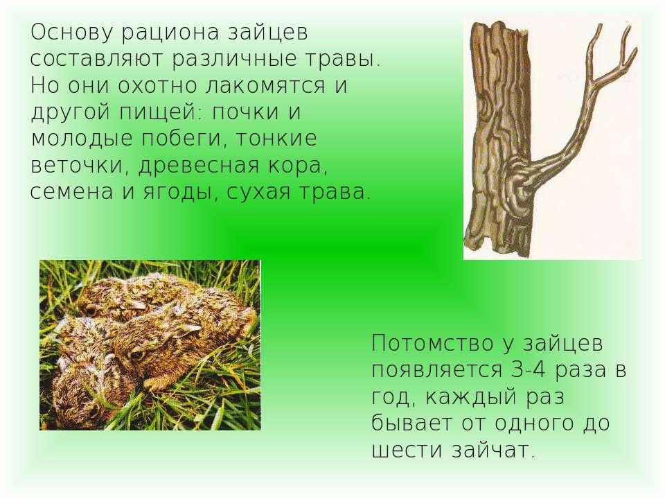 Основу рациона зайцев составляют различные травы. Но они охотно лакомятся и д...