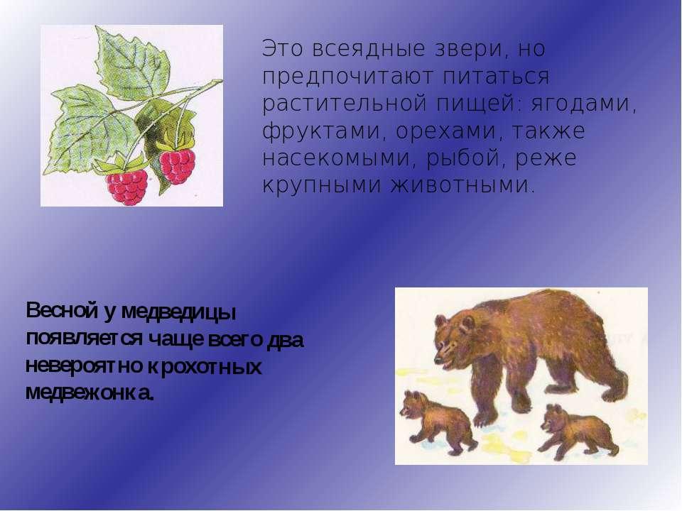 Это всеядные звери, но предпочитают питаться растительной пищей: ягодами, фру...