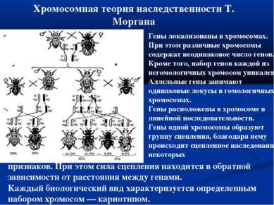 Хромосомная теория наследственности Т. Моргана Гены локализованы в хромосомах...