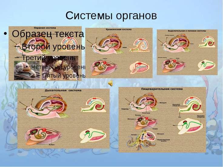 Брюхоногие. Слева направо: теребра, розовое морское ушко, окаймлённый слизень...