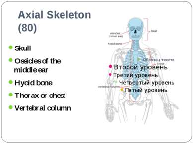 Axial Skeleton (80) Skull Ossicles of the middle ear Hyoid bone Thorax or che...