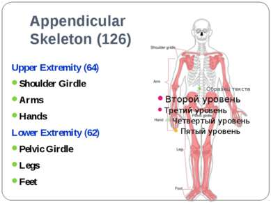 Appendicular Skeleton (126) Upper Extremity (64) Shoulder Girdle Arms Hands L...