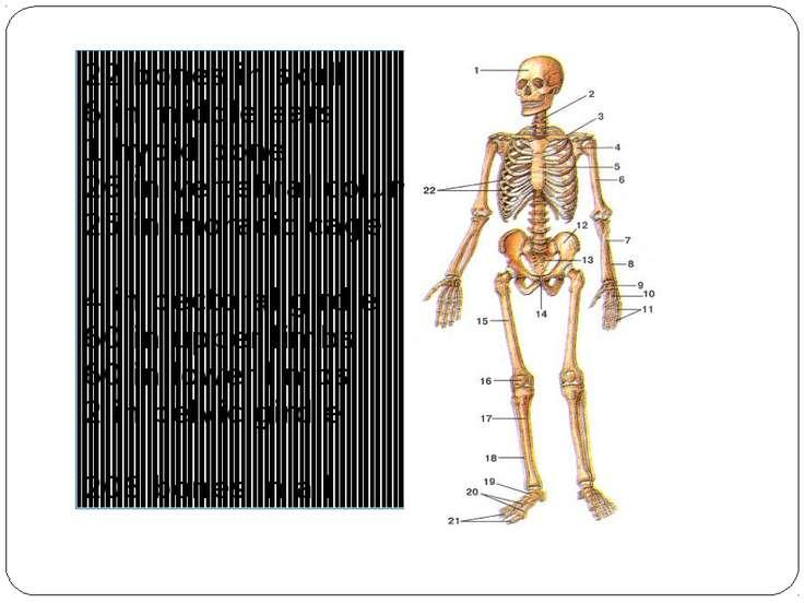 22 bones in skull 6 in middle ears 1 hyoid bone 26 in vertebral column 25 in ...