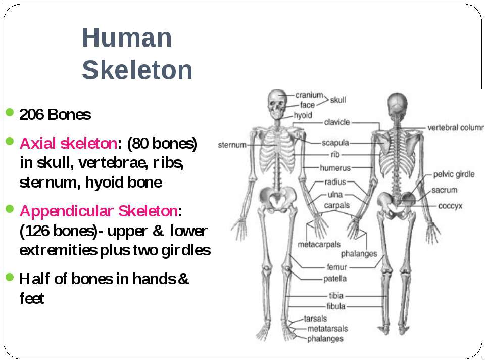 Human Skeleton 206 Bones Axial skeleton: (80 bones) in skull, vertebrae, ribs...