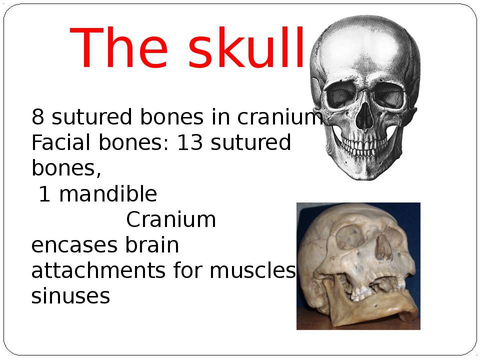 The skull 8 sutured bones in cranium Facial bones: 13 sutured bones, 1 mandib...