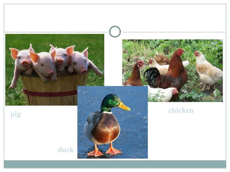 pig chicken duck