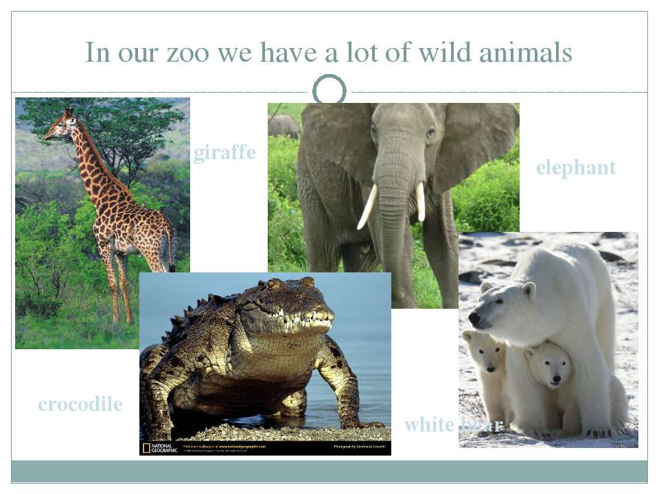 In our zoo we have a lot of wild animals giraffe elephant crocodile white bear