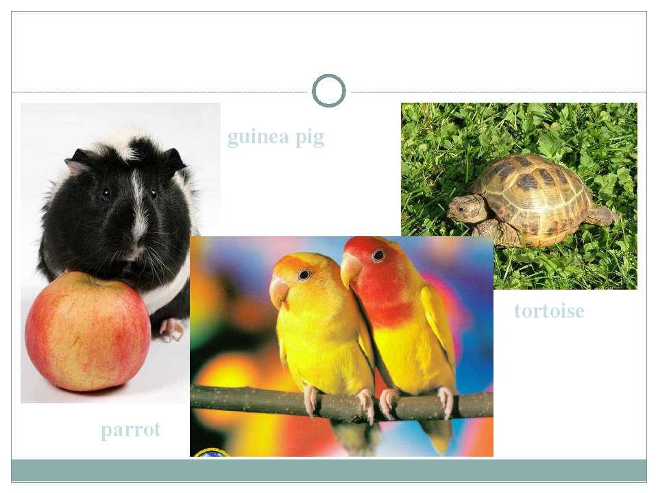 guinea pig parrot tortoise