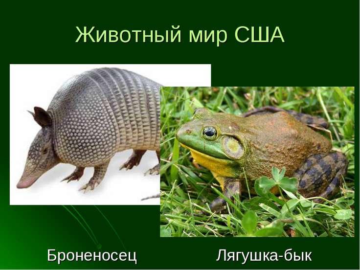 Животный мир США Броненосец Лягушка-бык
