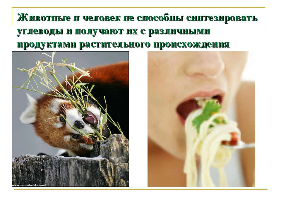 Животные и человек не способны синтезировать углеводы и получают их с различн...