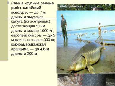 Самые крупные речные рыбы: китайский псефурус — до 7 м длины и амурская калуг...