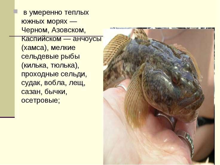 в умеренно теплых южных морях — Черном, Азовском, Каспийском — анчоусы (хамс...