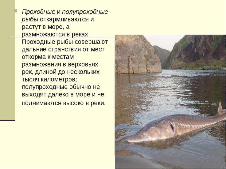 Проходныеиполупроходные рыбыоткармливаются и растут в море, а размножаются...