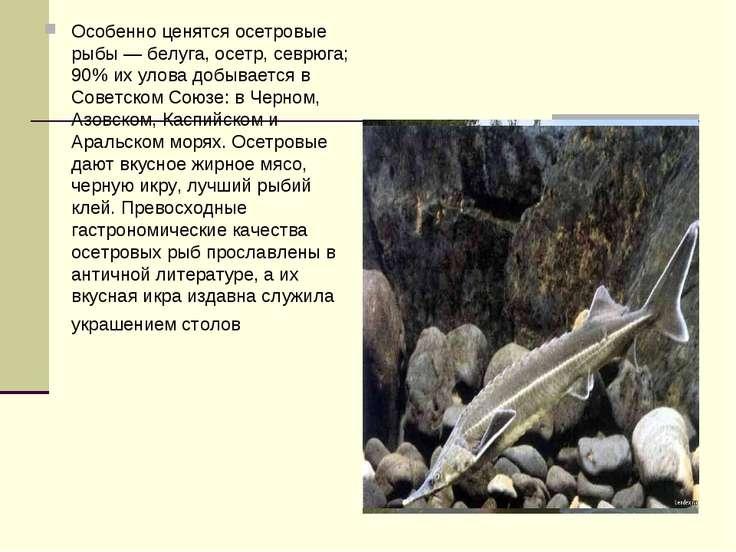 Особенно ценятся осетровые рыбы — белуга, осетр, севрюга; 90% их улова добыва...