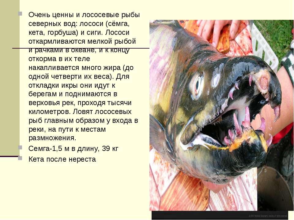 Очень ценны и лососевые рыбы северных вод: лососи (сёмга, кета, горбуша) и си...