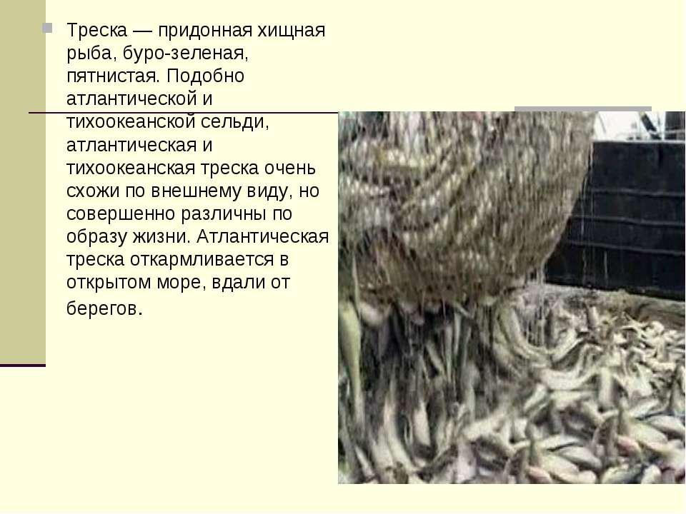 Треска — придонная хищная рыба, буро-зеленая, пятнистая. Подобно атлантическо...