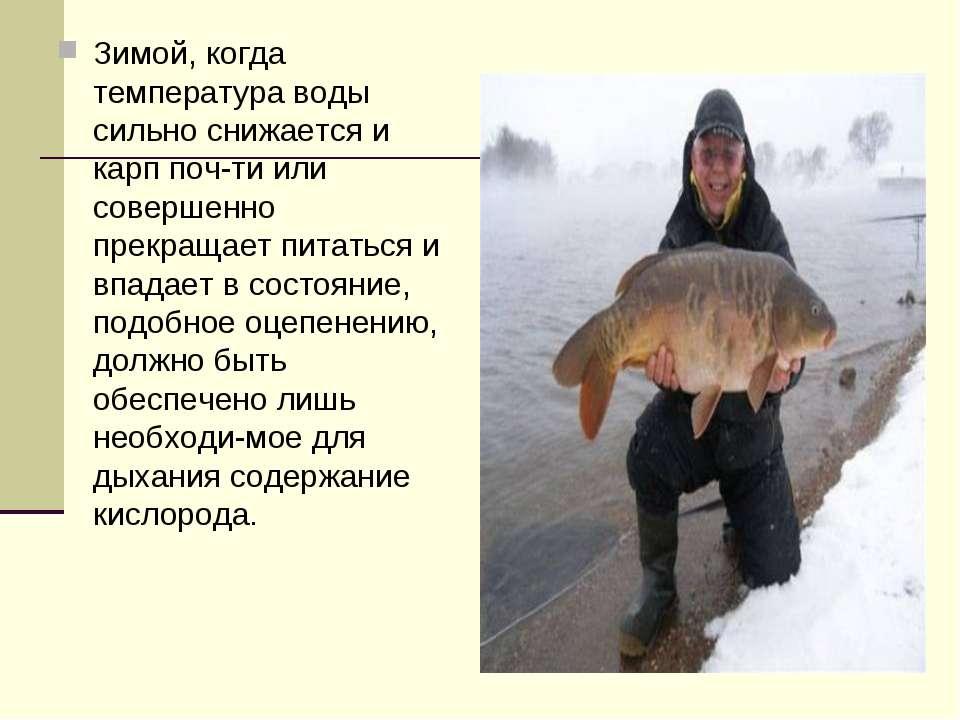 Зимой, когда температура воды сильно снижается и карп поч ти или совершенно п...