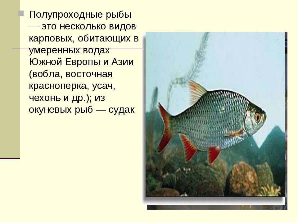 Полупроходные рыбы — это несколько видов карповых, обитающих в умеренных вода...