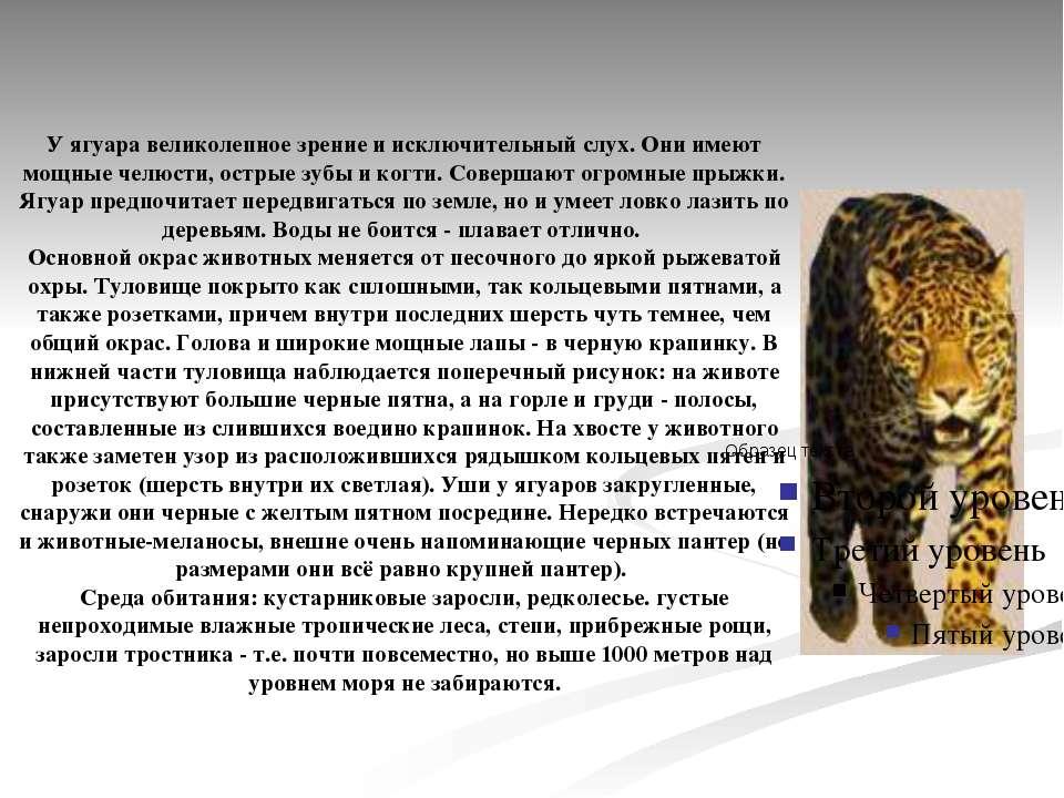 У ягуара великолепное зрение и исключительный слух. Они имеют мощные челюсти,...