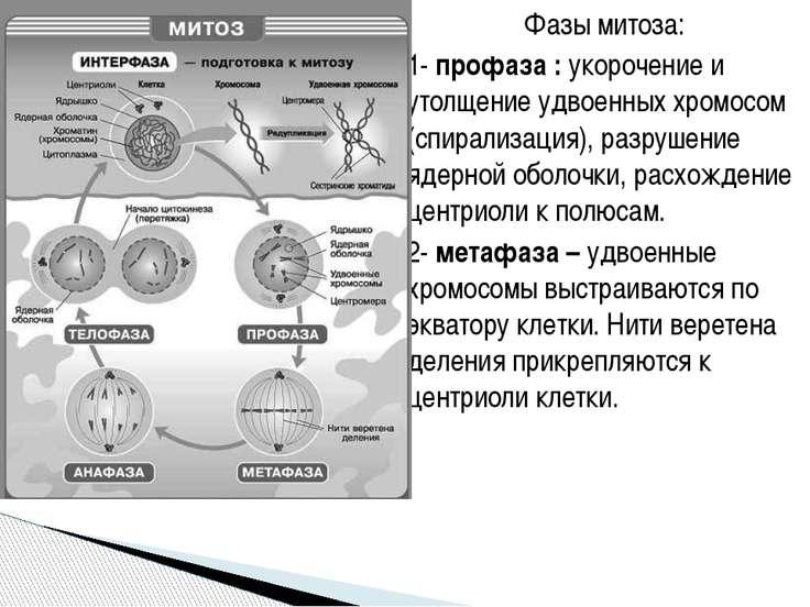 Фазы митоза: 1- профаза : укорочение и утолщение удвоенных хромосом (спирализ...