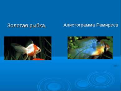 Золотая рыбка. Апистограмма Рамиреса
