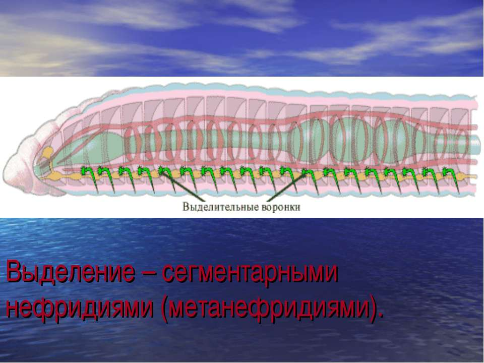 Выделение – сегментарными нефридиями (метанефридиями). .