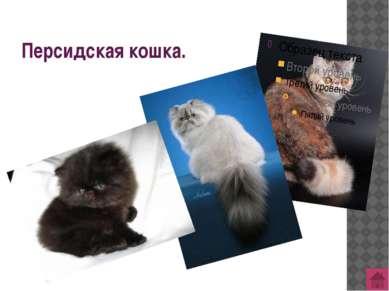 Азиатская дымчатая кошка (бурмуар)