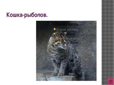 Сибирская кошка - национальная гордость России.