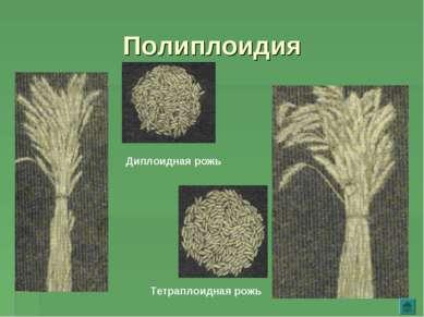 Полиплоидия Диплоидная рожь Тетраплоидная рожь
