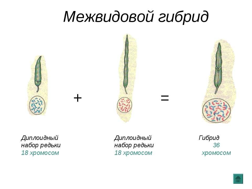 + + + = = Диплоидный набор редьки 18 хромосом Диплоидный набор редьки 18 хром...