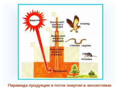Пирамида продукции и поток энергии в экосистемах