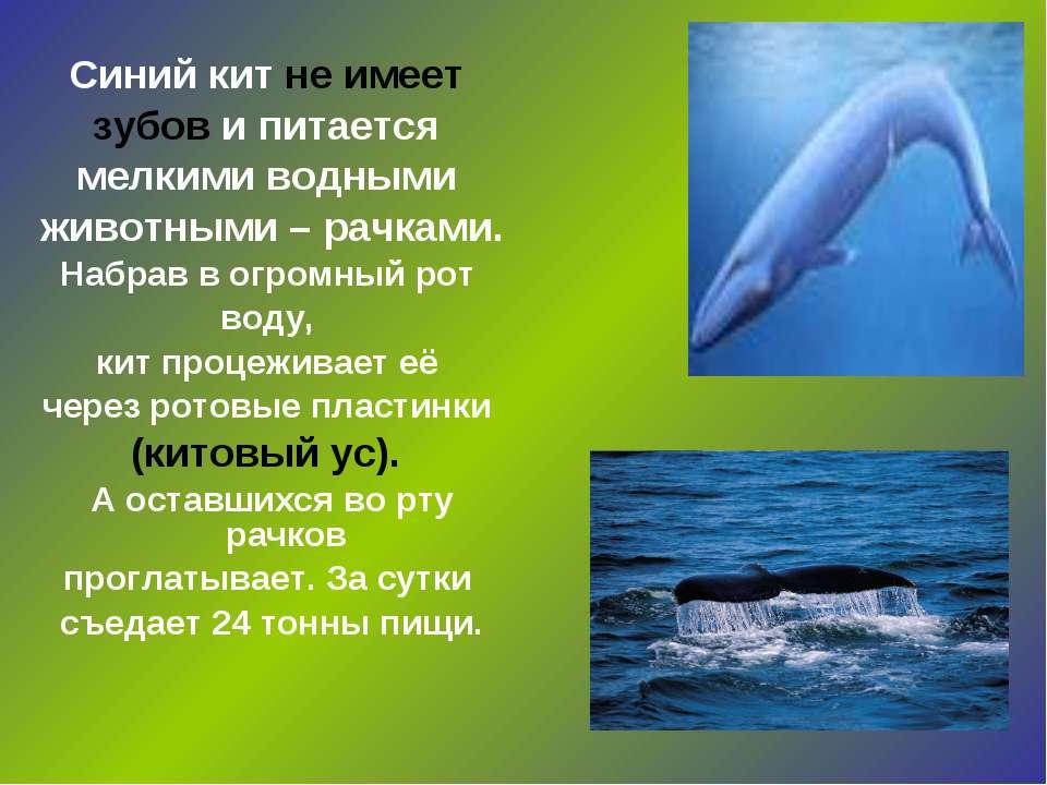 Синий кит не имеет зубов и питается мелкими водными животными – рачками. Набр...
