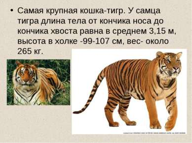 Самая крупная кошка-тигр. У самца тигра длина тела от кончика носа до кончика...